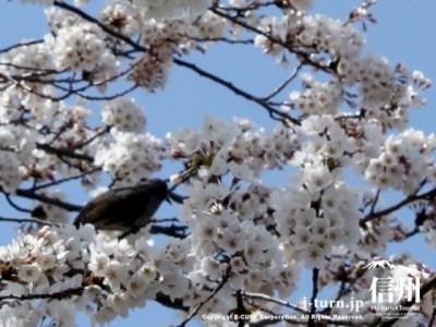 桜にとまる鳥
