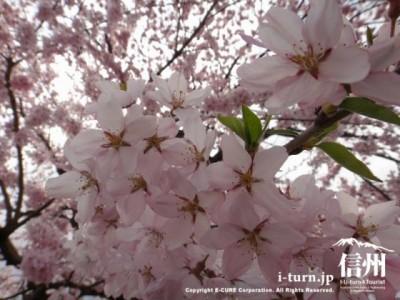 桜をアップで