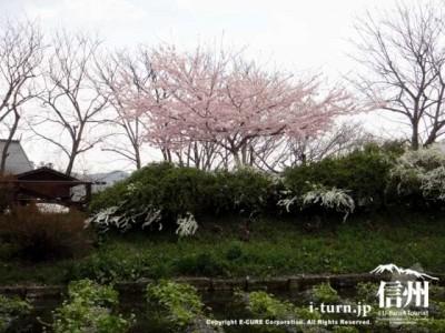 わさび田の向こうに百楽桜