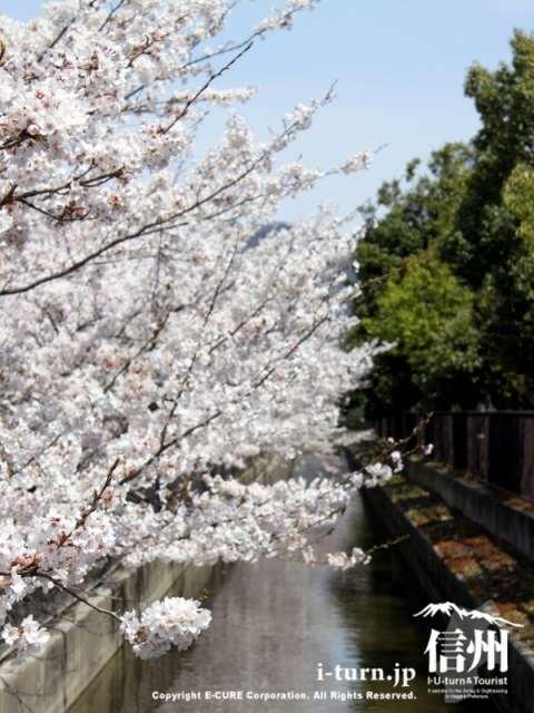 病院脇の堰と桜