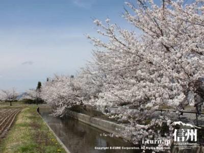 堰と桜並木1