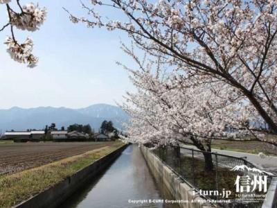 堰と桜並木2