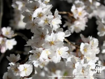 アップでみた桜