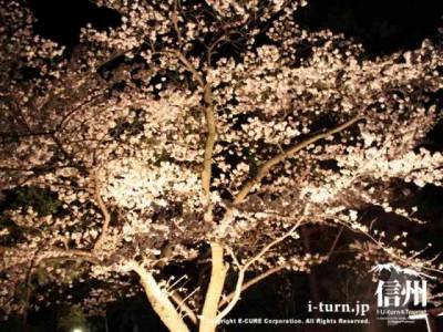 黒門の近くの桜