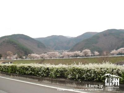 川向こうの桜並木