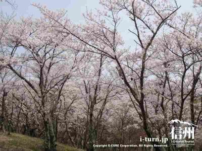 頂上近くの桜Ⅰ
