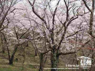 頂上近くの桜Ⅱ