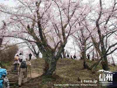 頂上近くの桜Ⅳ