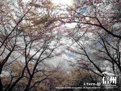 桜並木の中を進みます