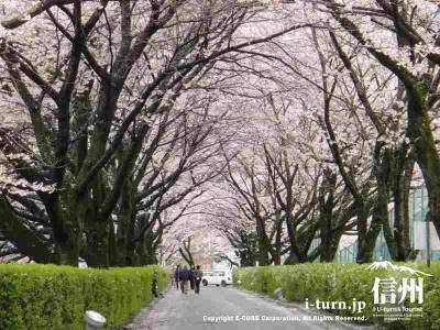 桜のトンネルはキレイ