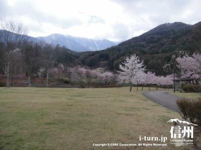 公園の芝生エリアにも桜