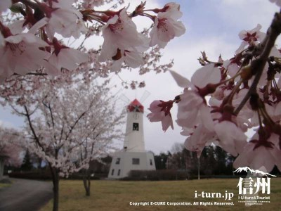 桜と時計台その2