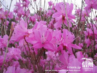 ピンクがキレイ