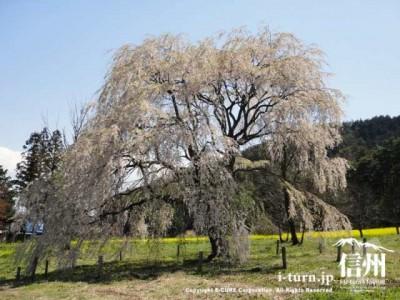 桜の木の奥に菜の花畑