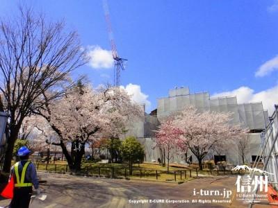 建設中の交流センターに咲く桜