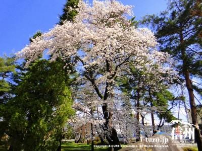 大きな桜の木