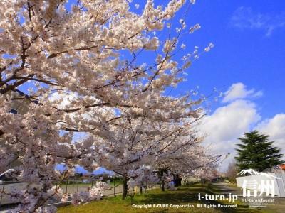 一直線に並ぶ桜