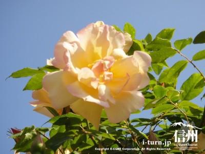 うすい黄色のバラ