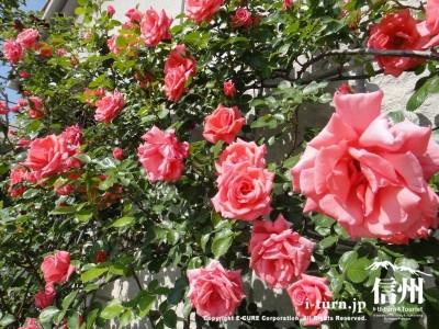 美術館の壁に咲くバラ