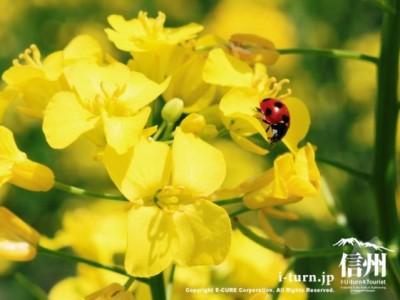 菜の花にとまるテントウムシ