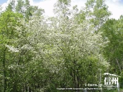 スモモの樹