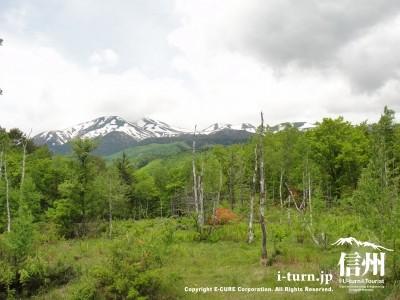 白樺と乗鞍岳とレンゲツツジ