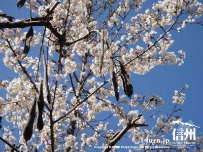 桜と枯れた藤の実