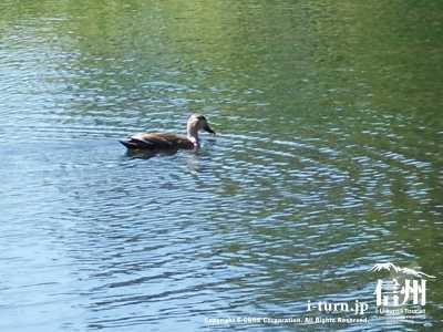 雨宮池と鴨