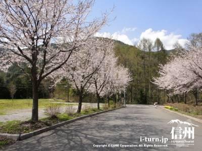 かやぶきの館の桜並木