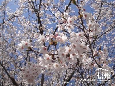 かやぶきの館の桜