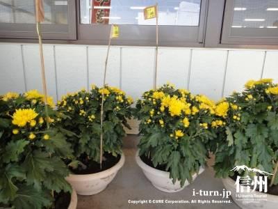 黄色い鉢植えの菊