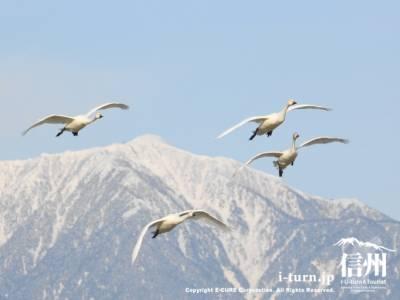 雪かぶる北アルプスと白鳥