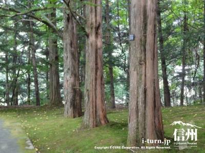 美術館庭内(メタセコイアの木)