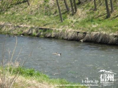 カモが泳ぐ川