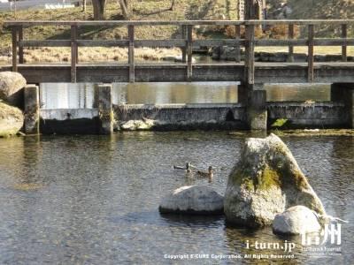 橋の下にカモ