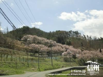 春に桜の咲いている高遠の山裾