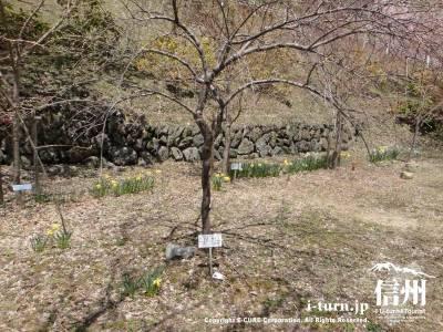 上田桃子のプロテスト合格の桃の木
