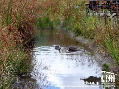 湿原にカモ