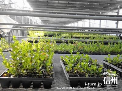 回転式花工場で育てられる苗
