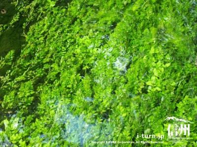 梅花藻が見えるほどきれいに透きっ通った川