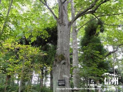 軽井沢植物園夏の山野草オオバボダイ樹