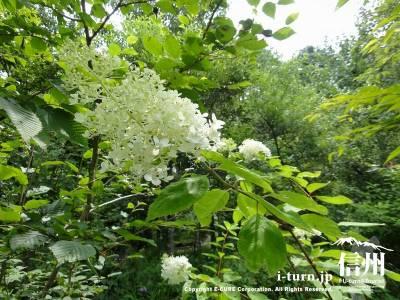 軽井沢植物園夏の山野草ピラミットアジサイ