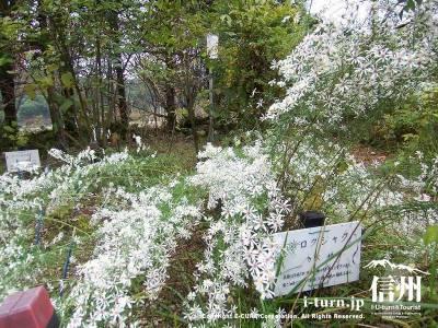 軽井沢植物園秋の山野草シロクジャク