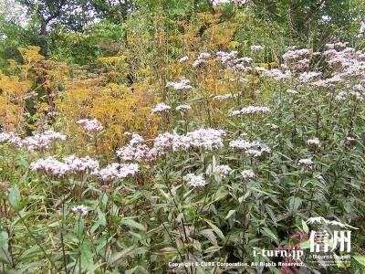 軽井沢植物園秋の山野草ヨツバヒヨドリ