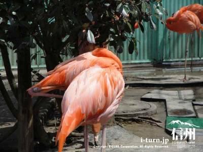 オレンジでキレイなフラミンゴ
