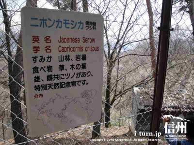日本カモシカの説明
