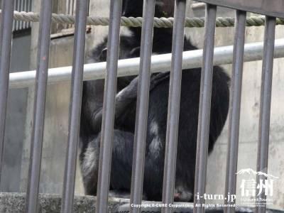 チンパンジーが抱き合って何かしてます