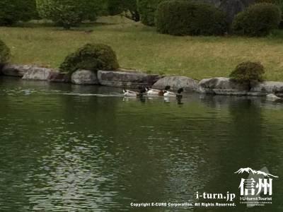 カモが泳いでいます