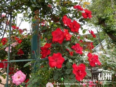 入口の真っ赤なバラが目を惹きます