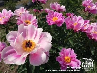 ピンクと白の芍薬